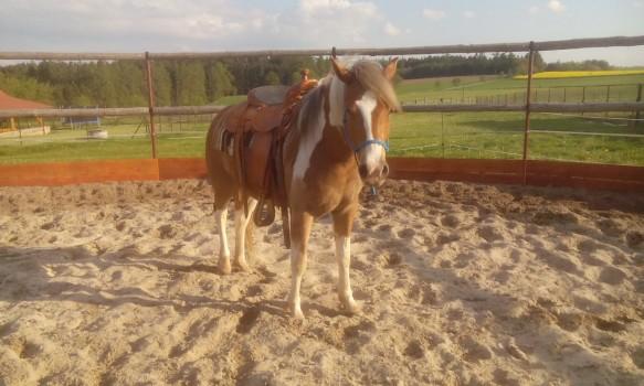 Cob Horses For Sale Kone Na Prodej
